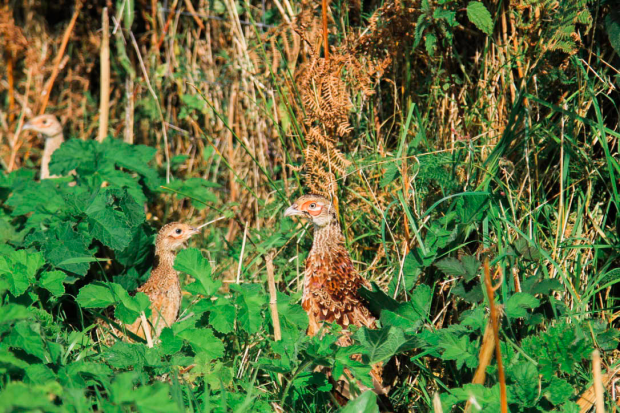 Head to Tone Blog: female pheasant and chicks at Eversfield Farm